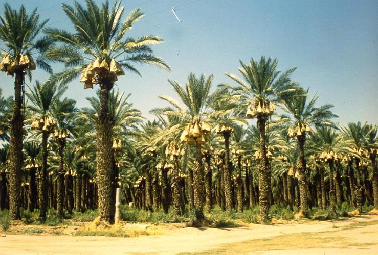 Date Palms Farm - Coachella Valley